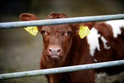 herdwatch calf registration