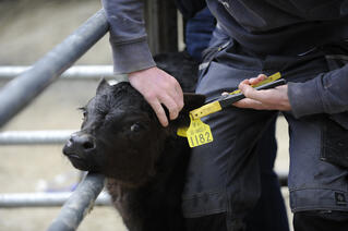 calf registration in seconds