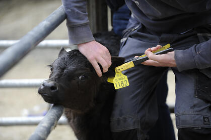 Tagging calves herdwatch