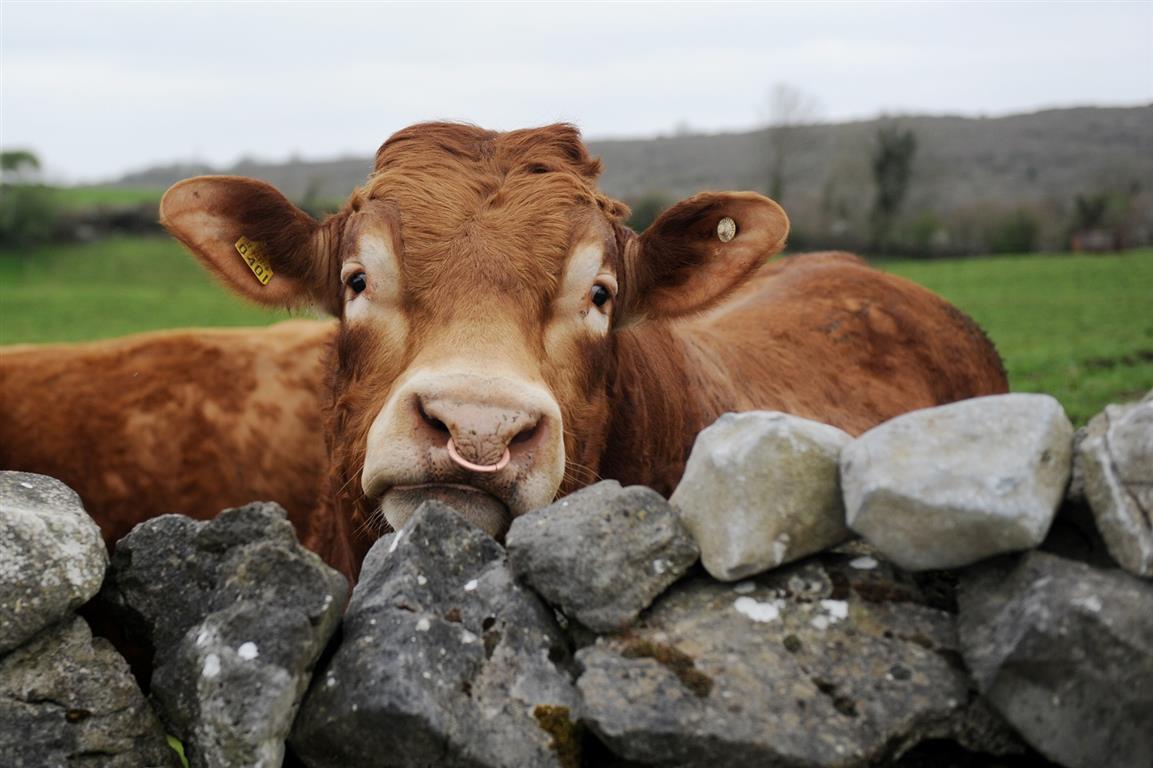 lim bull - Farm Saftey (Medium).jpg