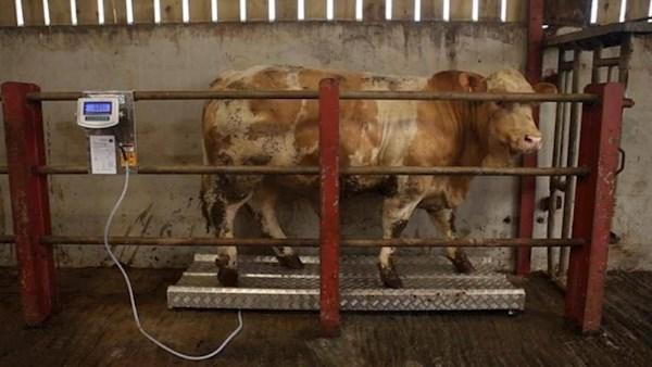CowOnWeighScales181018_large-1