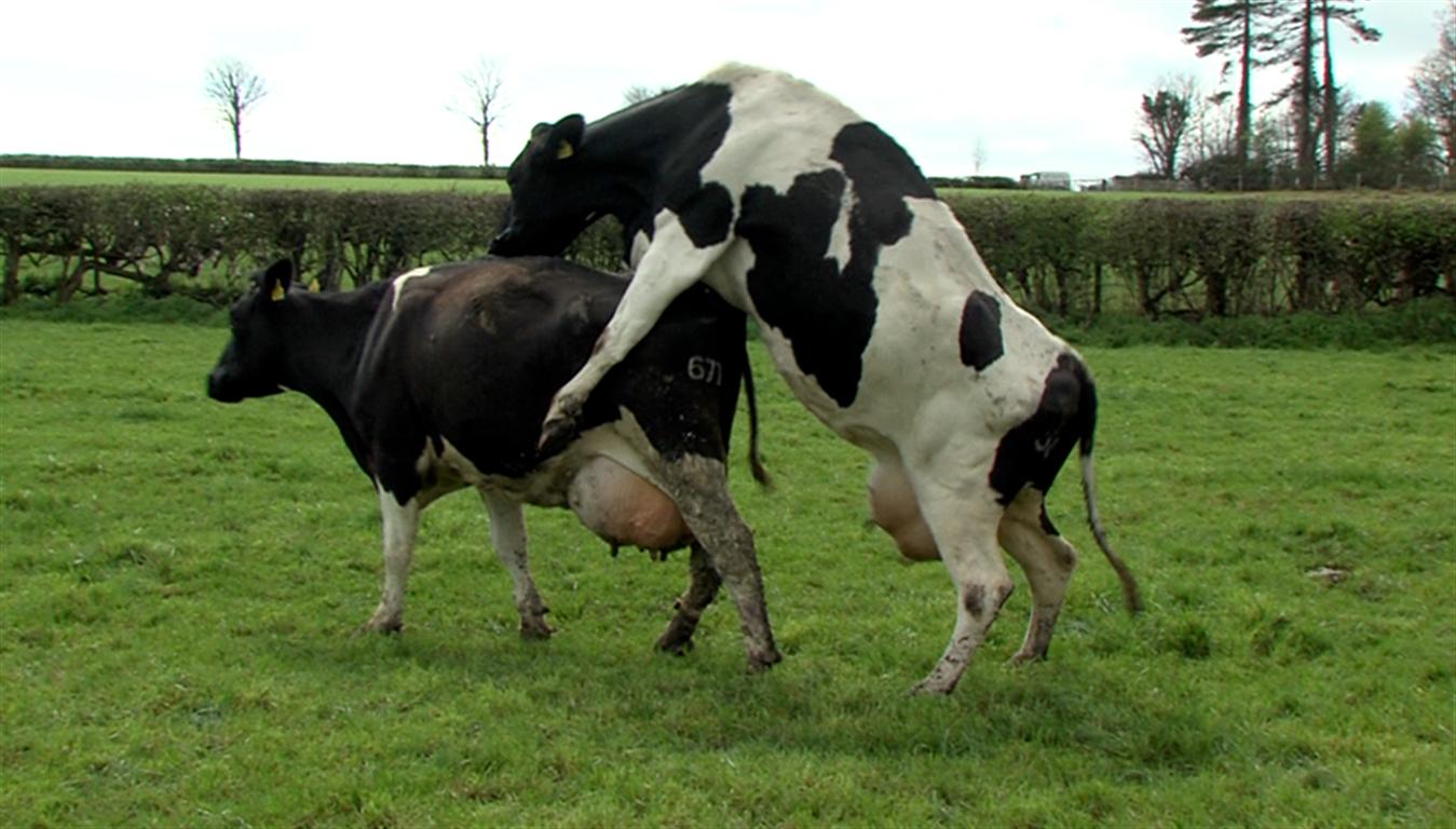 CowsBreeding (Medium).png