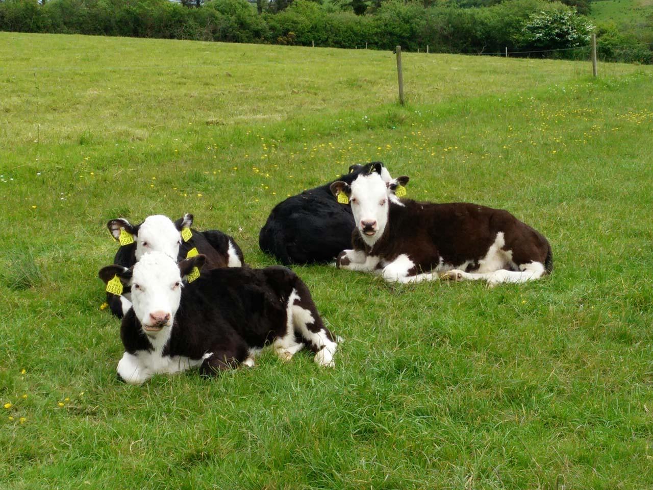 calves_small